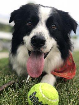 Dog, Tongue, Tennis Ball, Fetch, Happy, Cute, Domestic