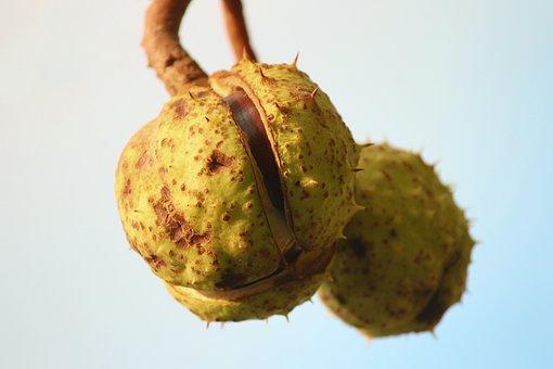 Chestnut, Chestnut Tree, Chestnut Fruit, Open, Tree