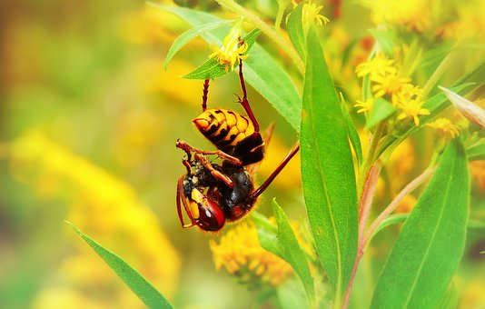 European Hornet, Insect, Victim, Food, Eating, Animals