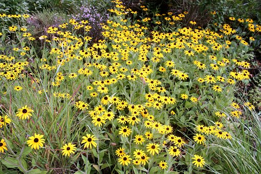 Flower Carpet, Walk In The Park, Sunflower, Yellow