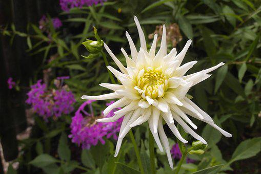 Dalia, Flower, Garden, White, Color