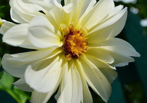 Dahlia, White Flower, Stamens, Pistils, Summer, Dacha