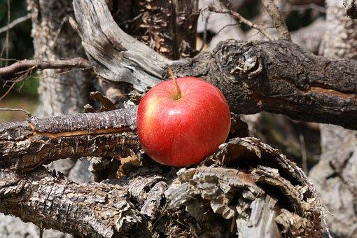 Apple, Apple Tree, Root, Wood
