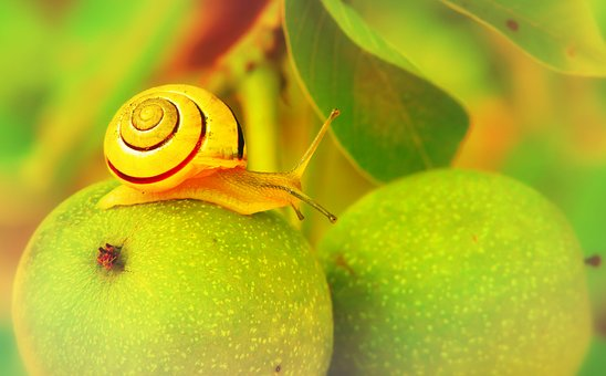 Wstężyk Huntsman, Molluscs, Apple, Sad, Animals, Nature