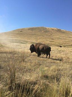Bison, Yellowstone, Buffalo, Landscape, Wyoming, Nature