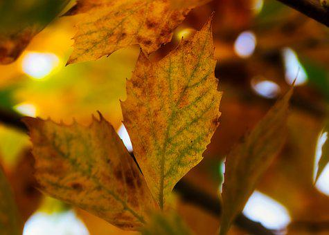 Leaves, Sycamore, Yellow, Autumn, Golden, Bright