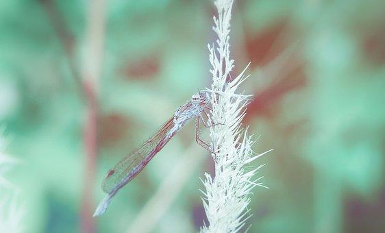 Zimówka Rudawa, Dragonflies Równoskrzydłe, Insect, Kłos