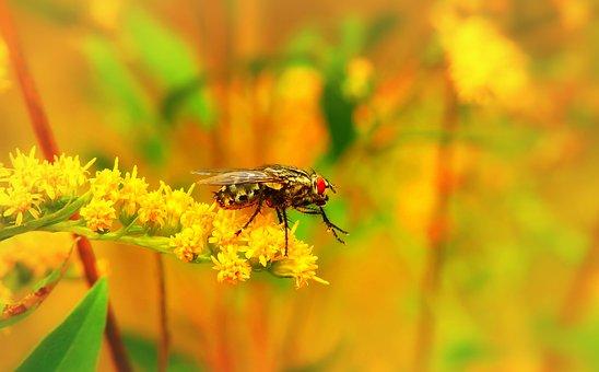 ścierwica Mięsówka, Insect, Muchówki, Flower, Animals