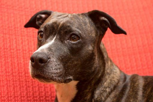 Dog, American Staffordshire Terrier, Portrait, Amstaff