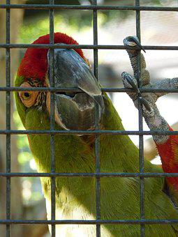 Rotkopfara, Parrot, Cage, Bird, Colorful, Red, Color