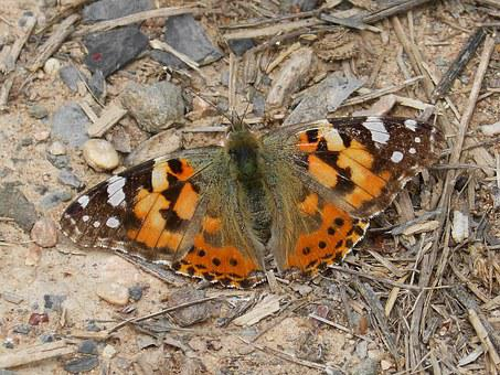Vanessa Cardui, Vanesa From Thistles, Butterfly