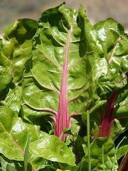 Chard, Leaf, Green, Vegetable