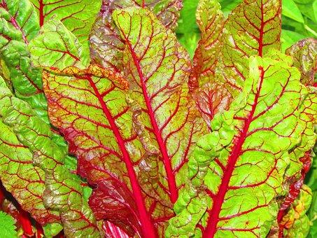 Chard, Beta Vulgaris, Amaranthaceae, Vegetable Plant