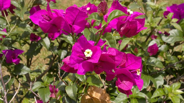 Purple, Flowers, Purple Flowers, Ceylon, Peradeniya
