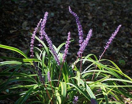 Liriope, Flower, Blossom, Bloom, Plant, Garden