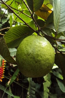 Guava, Fruit, Guava Fruit, Fresh, Green, Tropical