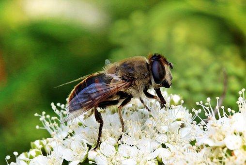 Mist Bee, Eristalis Tenax, Hover Fly