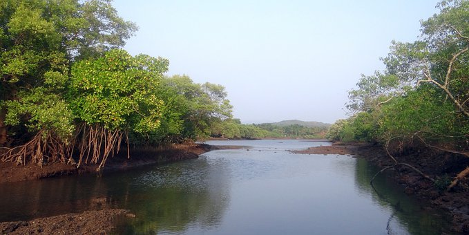 Mangrove Species, Aerial Roots, Tidal Forest, India