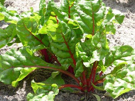 Swiss Chard, Vegetable, Plant, Kitchen Garden, Plants