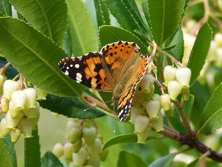 Butterfly, Libar, Arbutus Flower, Strawberry Tree