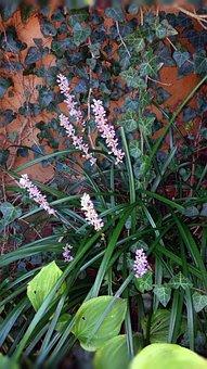 Liriope, Flower, Plant, Hosta, English Ivy, Ivy, Grassy