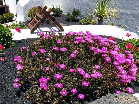 Canary, Parterre, Sedum, Purple Flowers, Garden, Massif