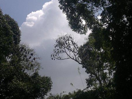 Sky, Clouds, Trees, Bats, Ceylon, Peradeniya, Kandy