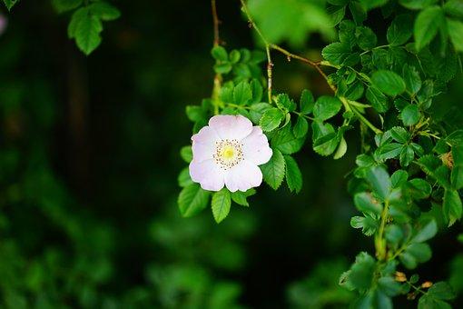 Dog Rose, Rose Bloom, Blossom, Bloom, Pink, Light Pink