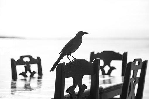 Bird, Shadow, Blackbird, Curious, Stool, Chair, Table