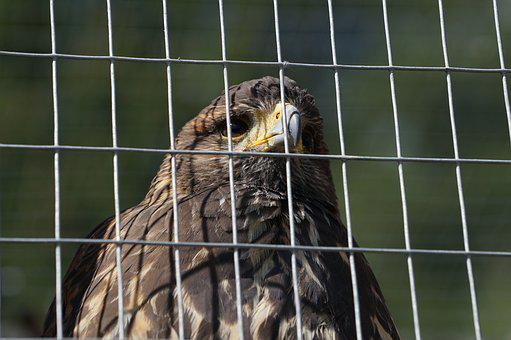 Bird Of Prey, Mautern, Styria, Wild Mountain, Grid