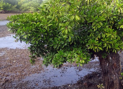 Mangrove Species, Aerial Roots, Tidal Forest, Creek