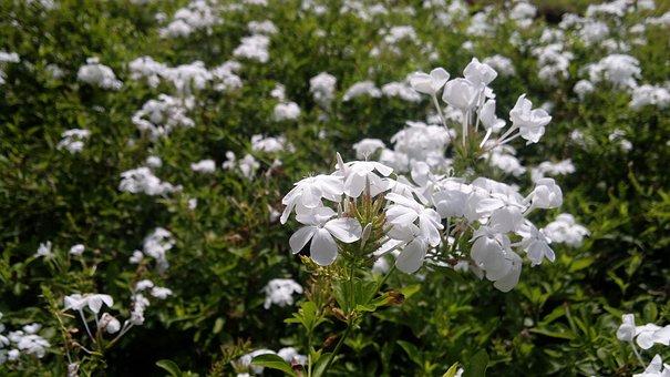 White, Flower, Plant, Ceylon, Peradeniya, Kandy