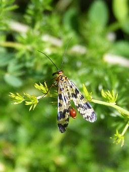 Panorpa Communis, Scorpion Fly, Insect, Wings