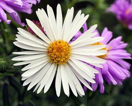 White Aster, False-color, Albino, Shrub, Flowers