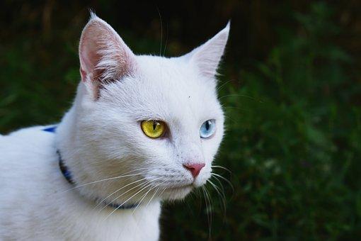 Cat, White, Heterochromia, Pet, Animal, Fur, Mammal