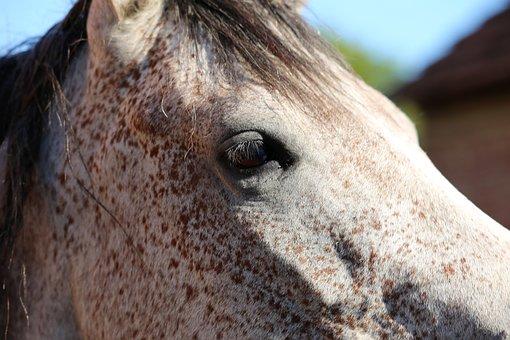 Arabian Horse, Head, Eye, Animal, Summer, Meadow