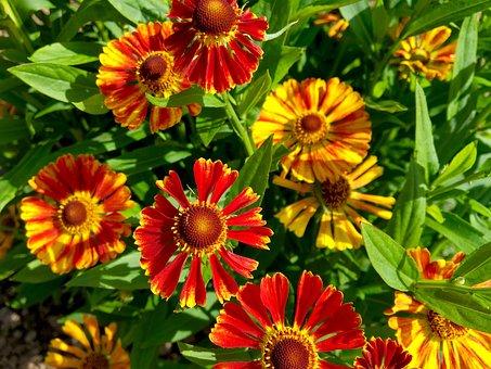 Flower, Flora, Garden, Red, Yellow, Late Summer, Autumn