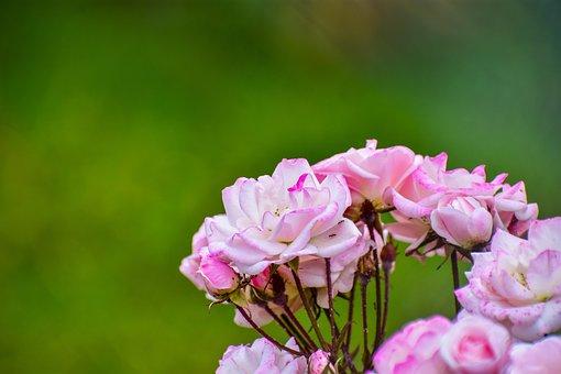 Rosa, Bella, Flower, Plant