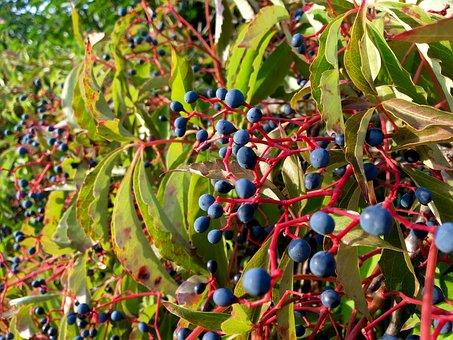 Wine Partner, Vine, Berry, Dark Blue, Red Branches