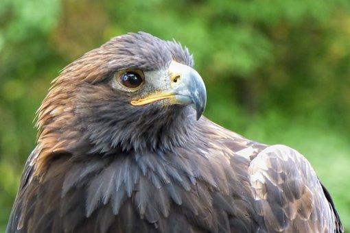 Adler, Bird, Bird Of Prey, Raptor, Animal Recording
