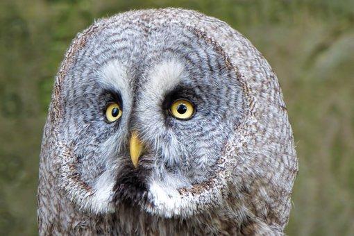 Owl, Bird, Bird Of Prey, Raptor, Animal Recording