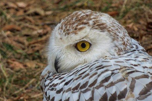 Owl, Snowy Owl, Bird, Bird Of Prey, Raptor