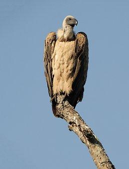 Bird, Raptor, Sky, Vulture, Portrait, Nature, Tree