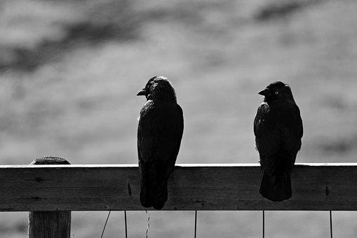 Jackdaw, Bird, Animal, Corvidae, Sitting, Fence, Two