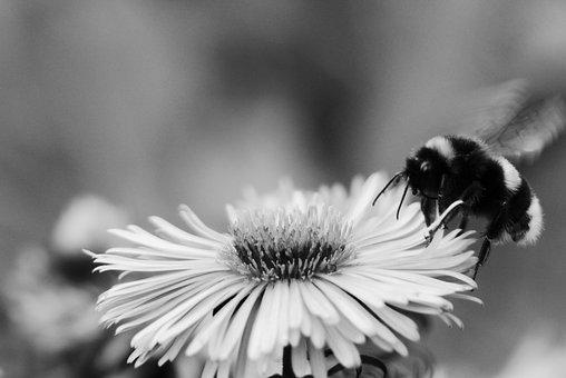 Bumblebee Gas, Insect, Fly, Flower, Black And White