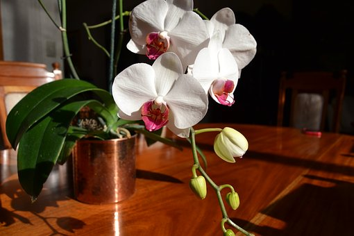 Orchid, Copper, Flower, Orchid Pink And White, Bronze