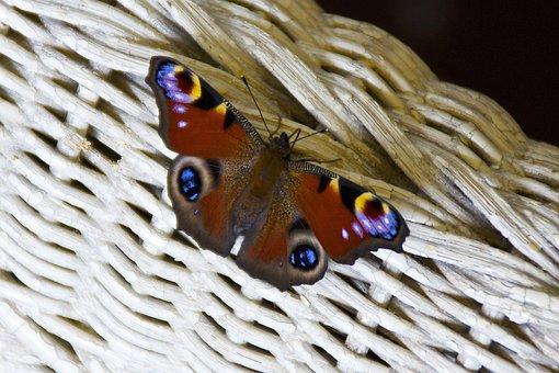 Peacock Butterfly, Butterfly, Summer