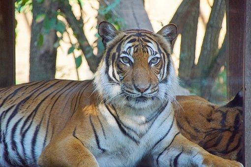 Tiger, Zoo, Animals, Nature, Cat, Mammal, Wild, Safari