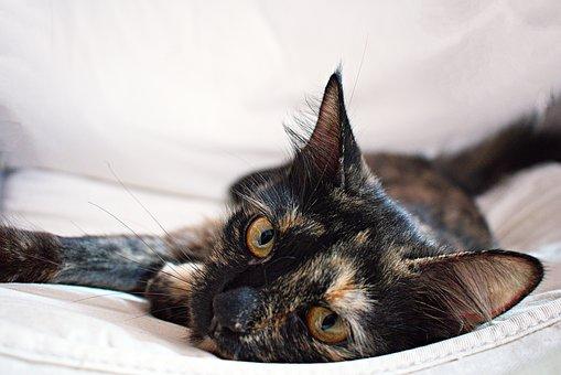 Cat, Tortoiseshell, Feline, Domestic, Pet, Kitty, Cute