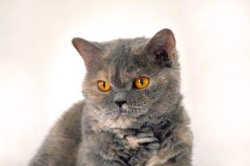 Cat, Animal, British Shorthair, Pet, Animal World, View
